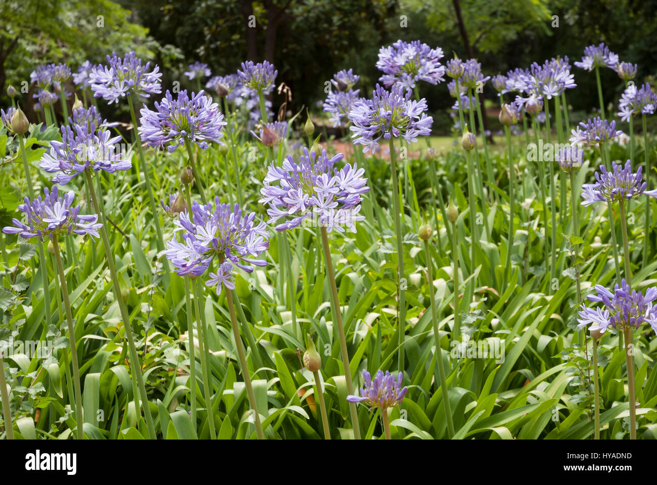 Blue african lily, agapanthus africanus flowers in a garden - Stock Image