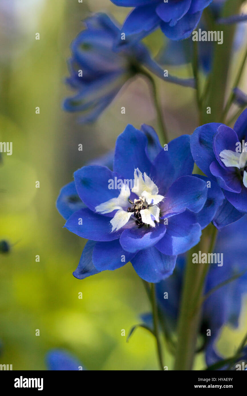 Purple blue and white larkspur flower known as delphinium blooms in purple blue and white larkspur flower known as delphinium blooms in a garden in spring mightylinksfo