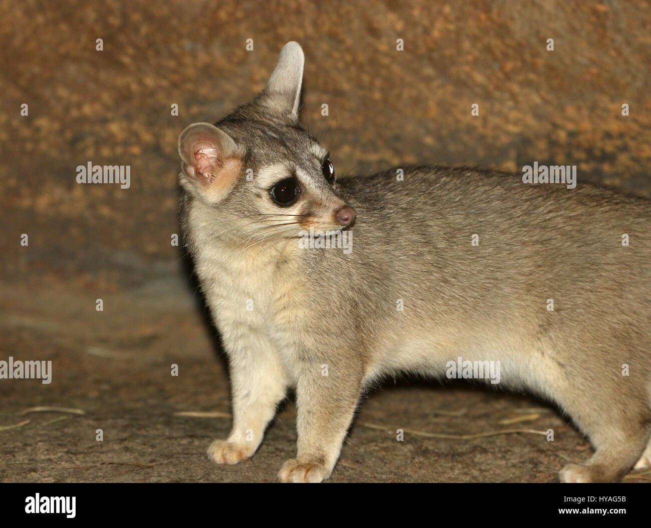 Alert male North American / Mexican Ring-tailed cat (Bassariscus astutus). - Stock Image