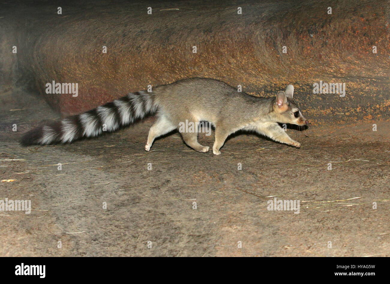 North American / Mexican Ring-tailed cat (Bassariscus astutus) on the prowl. - Stock Image