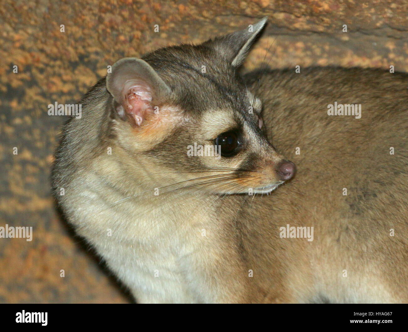 North American / Mexican Ring-tailed cat (Bassariscus astutus), detailed close-up of the head. - Stock Image