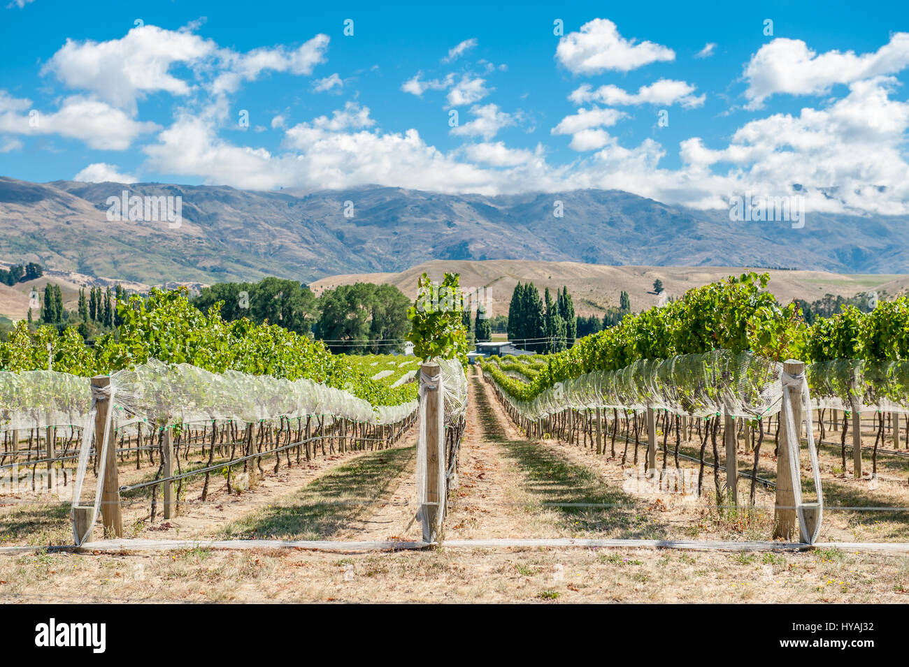 Vineyard in Gibbston Valley, New Zealand. Central Otago is the southernmost wine region in the world and mostly - Stock Image