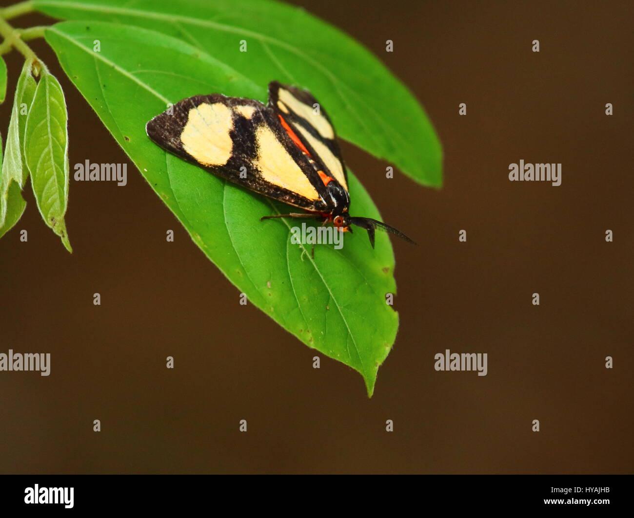 Phaegorista agaristoides diurnal moth Hypsidae, Lepidoptera, Zambia, Africa - Stock Image