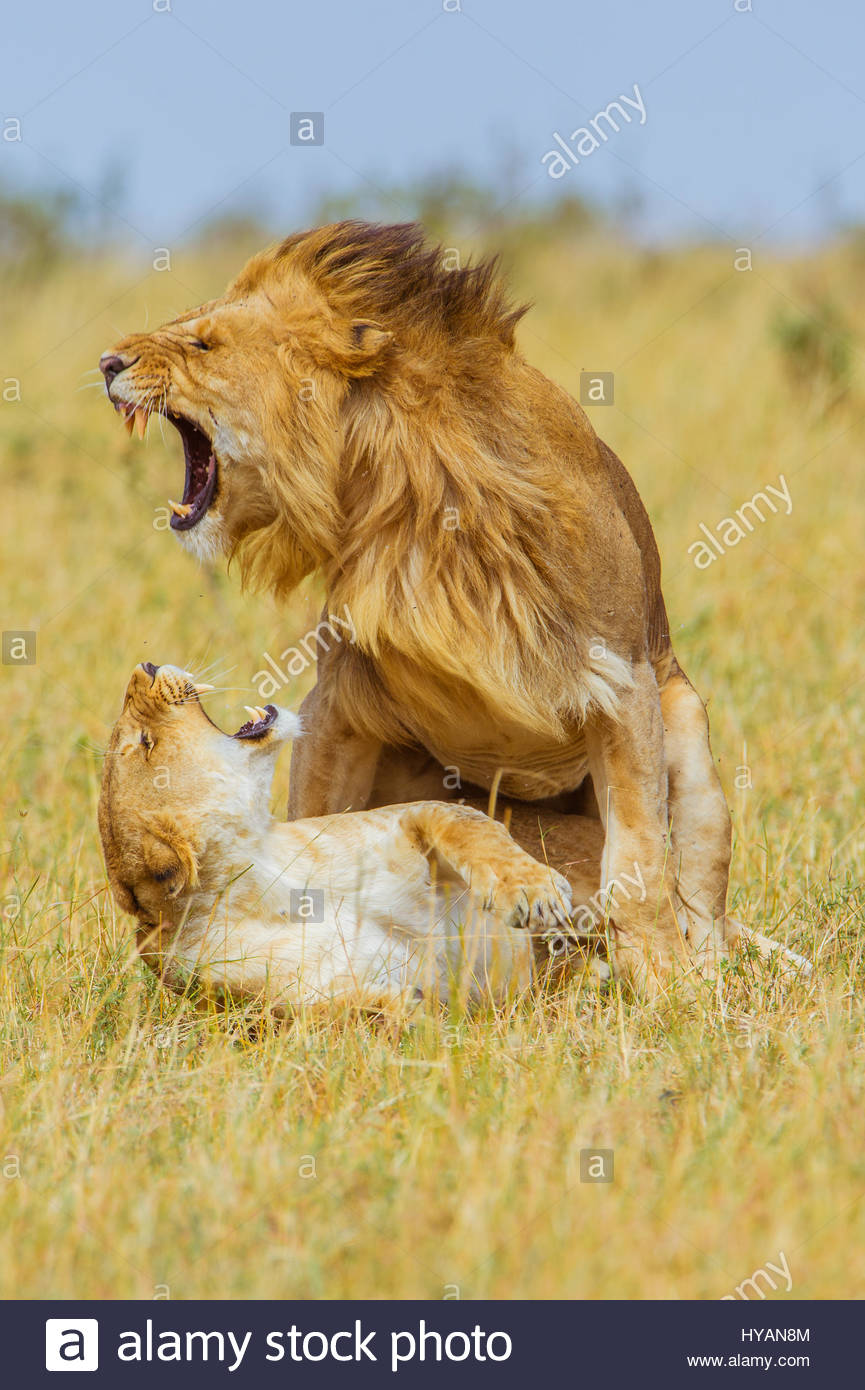 MASAI MARA, KENYA: LION LOVE has never looked so varied and dramatic as these pictures of a family fighting and - Stock Image