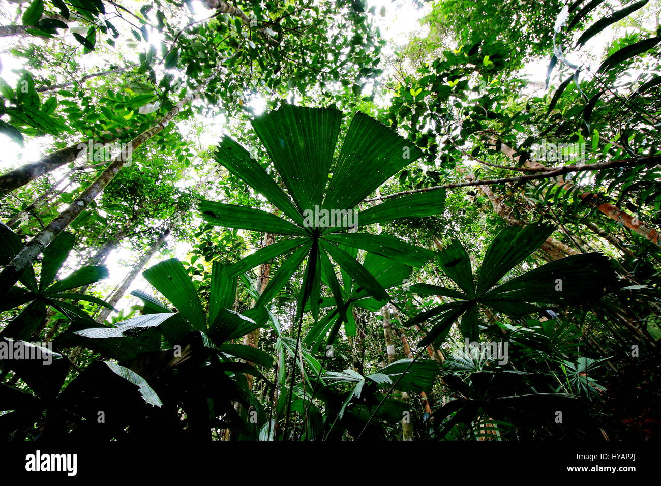 Worm's eye view of fan palms in a tropical jungle - Stock Image