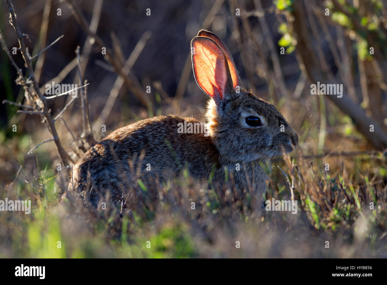 Cottontail Rabbit with Sunlight Shining through ears - Stock Image