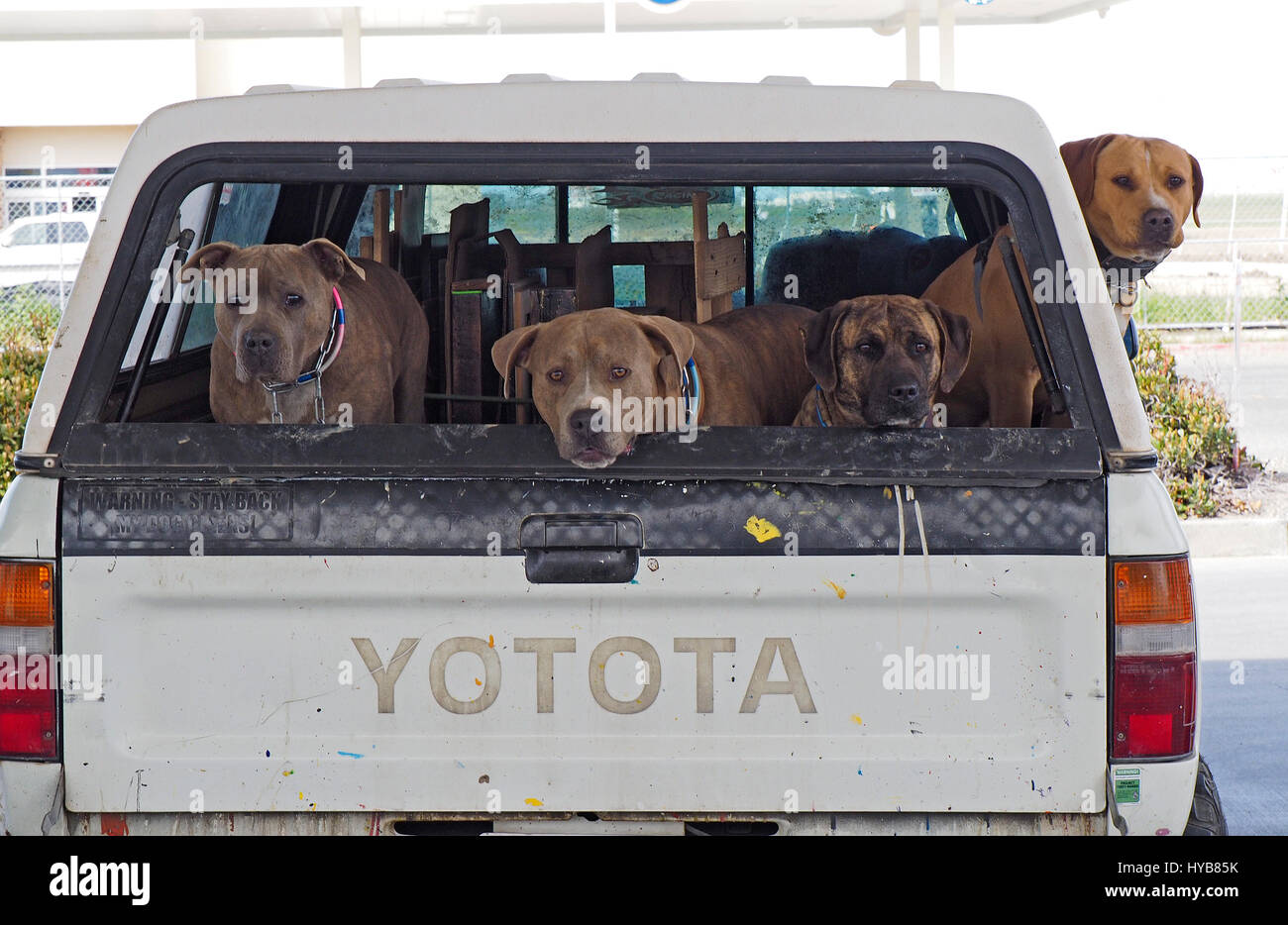 Four Big Dogs Looking out of the back of a Toyota pickup truck - Stock Image