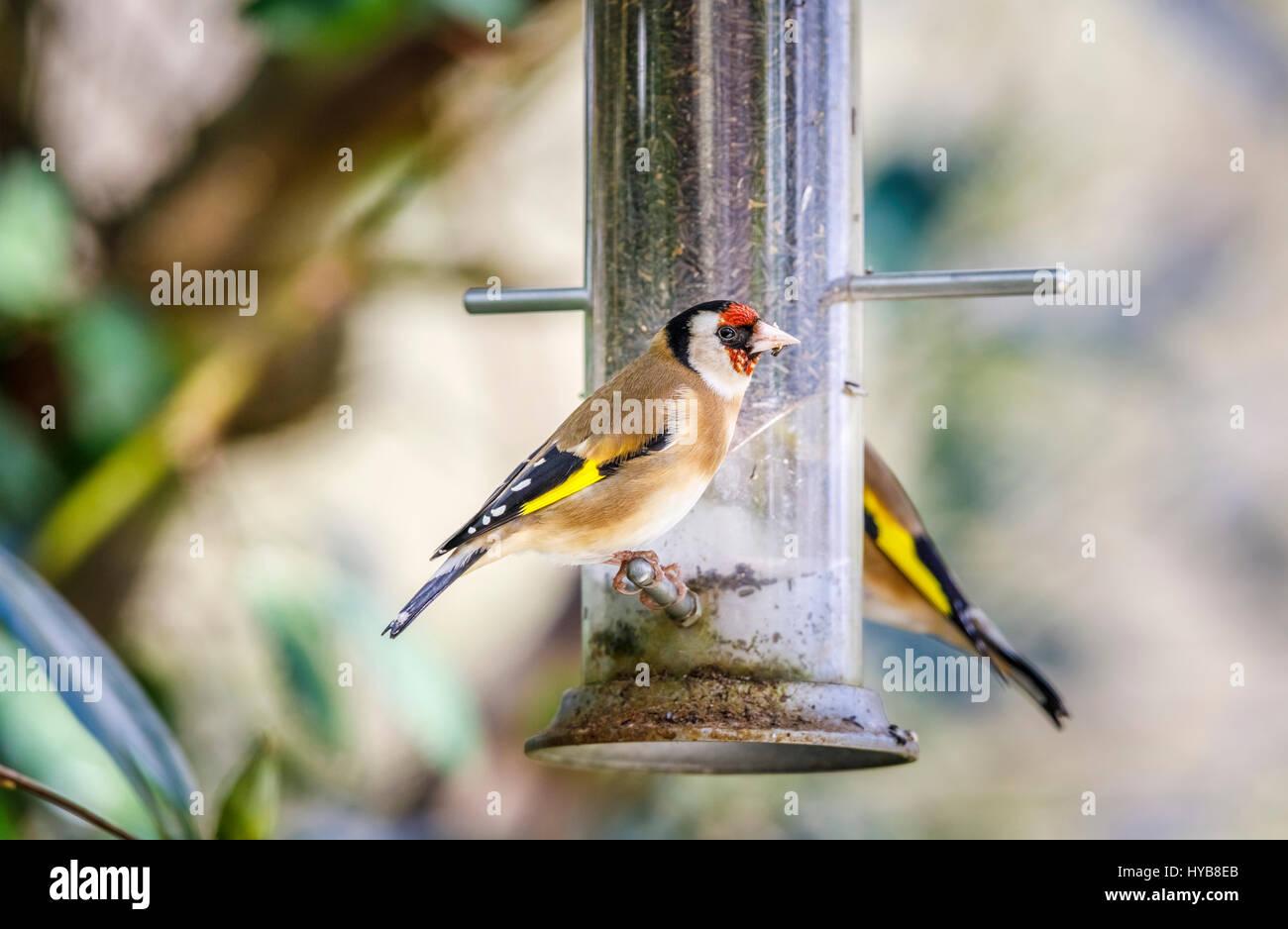 Colourful Carduelis carduelis, European goldfinch, perching, feeding at a niger seed bird feeder in an English garden Stock Photo