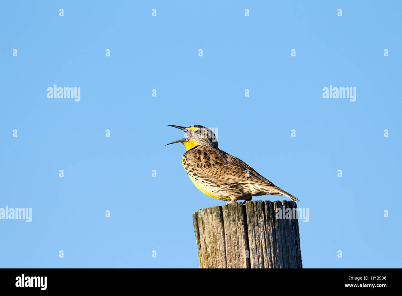 Western Meadowlark Stock Photo