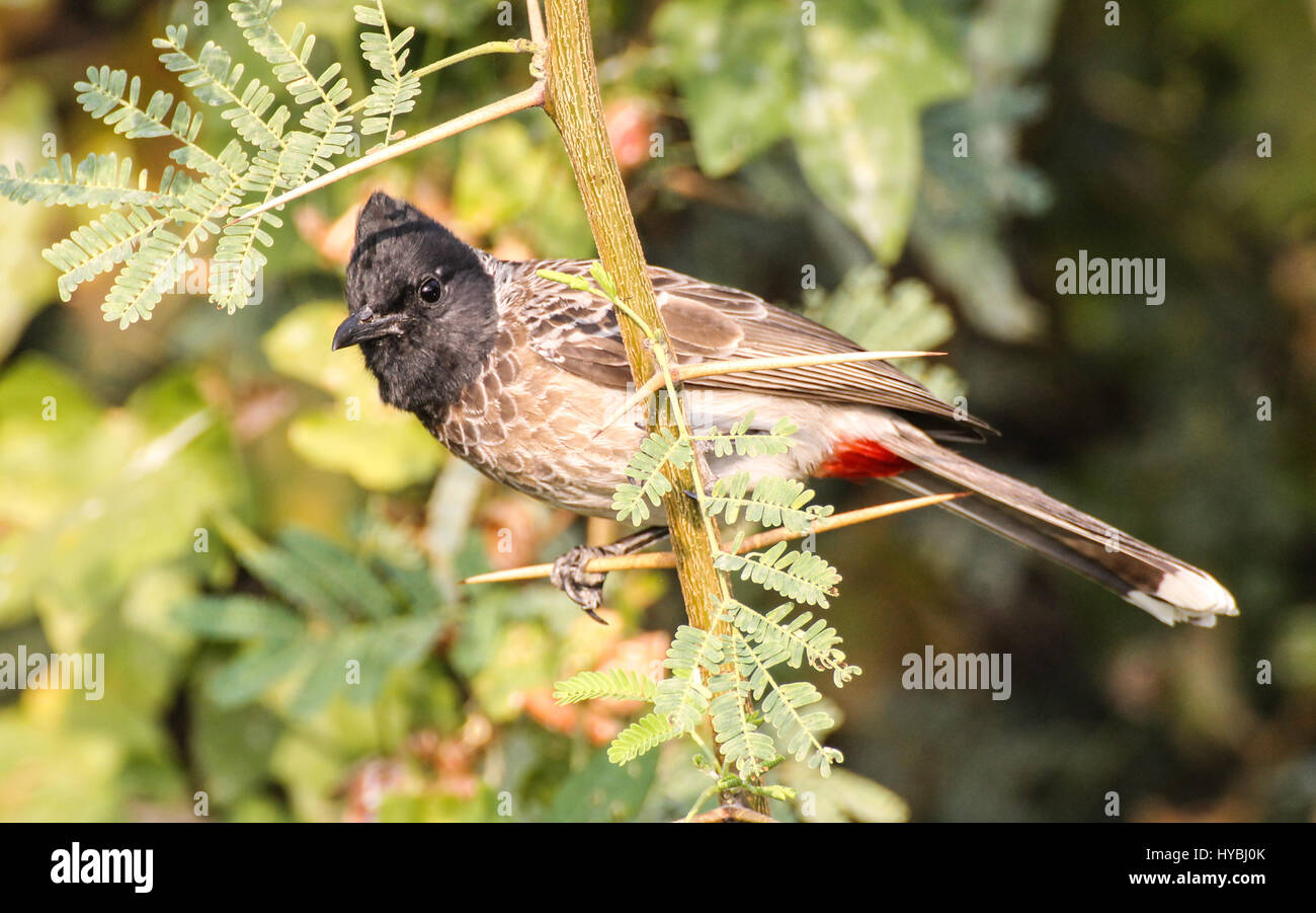 The red-vented bulbul (Pycnonotus cafer) is a member of the bulbul family of passerines. It is resident breeder - Stock Image