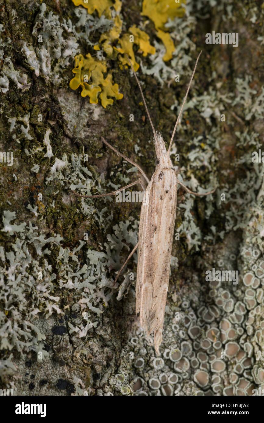 Ypsolopha mucronella, Ypsolopha caudella, Spindle Smudge, Ypsolophidae, Yponomeutoid Moths, sicklewinged moths - Stock Image