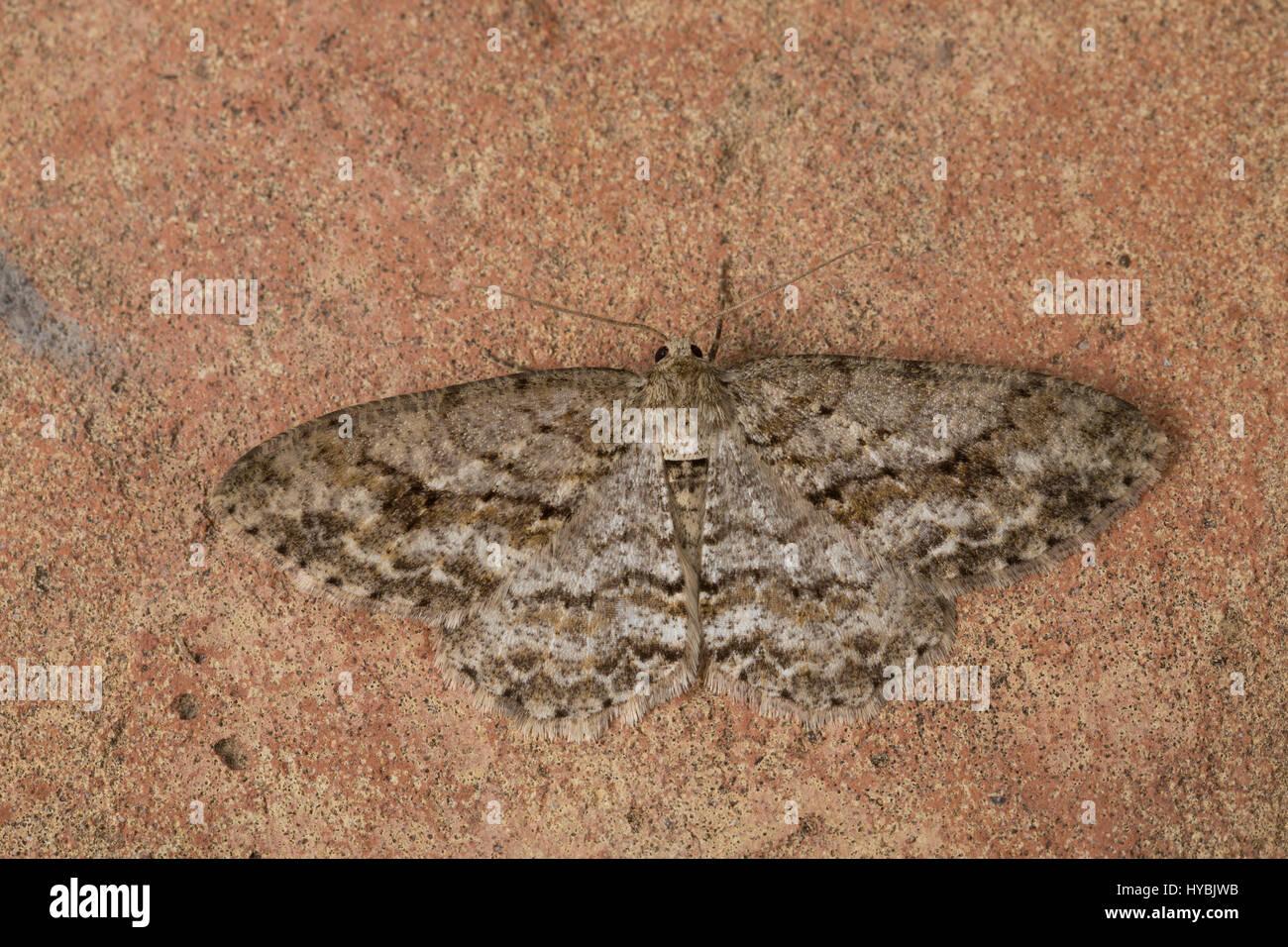 Zackenbindiger Rindenspanner, Pflaumenspanner, Ectropis crepuscularia, Ectropis bistortata, Boarmia bistortata, - Stock Image