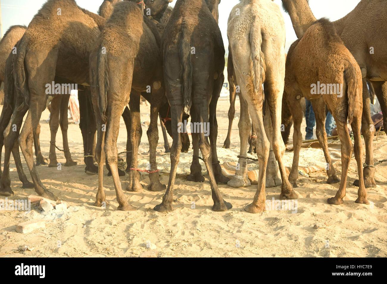 camels legs tied, pushkar mela, rajasthan, Asia, India - Stock Image