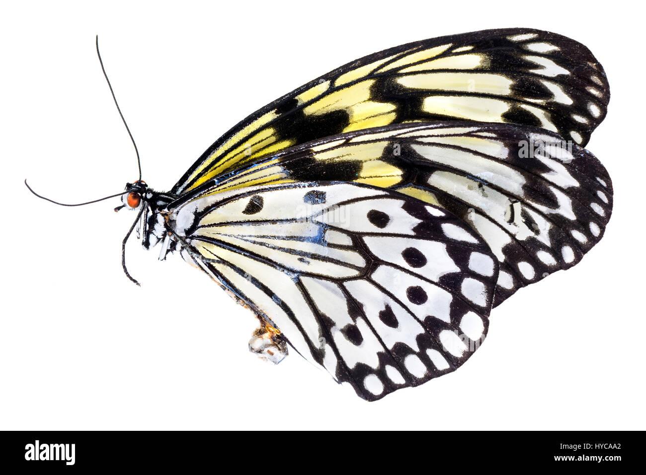 Malabar tree nymph butterfly (Idea malabarica) - Stock Image