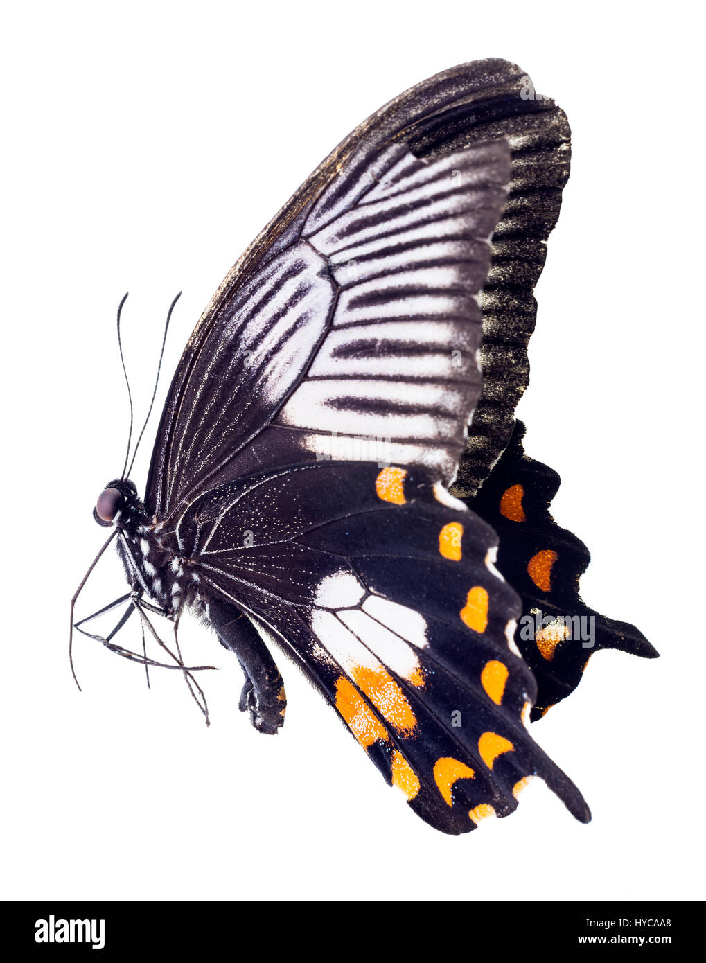 A female Common Mormon Butterfly, Papilio polytes - Stock Image