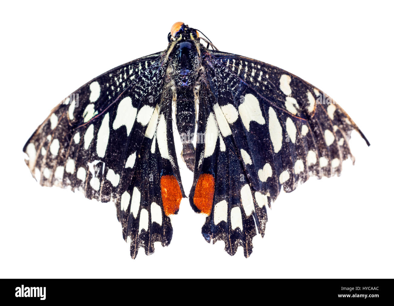 Common Lime butterfly (Papilio demoleus) - Stock Image