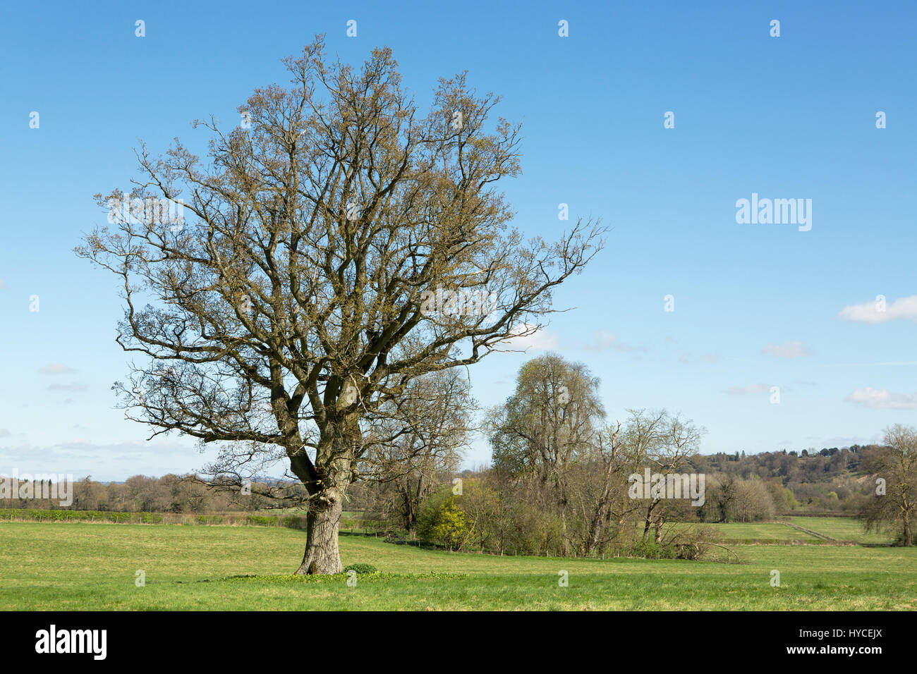 Bare trees on a fine spring day with clear blue skies. Typical Hampshire countryside with early seasonal colour - Stock Image