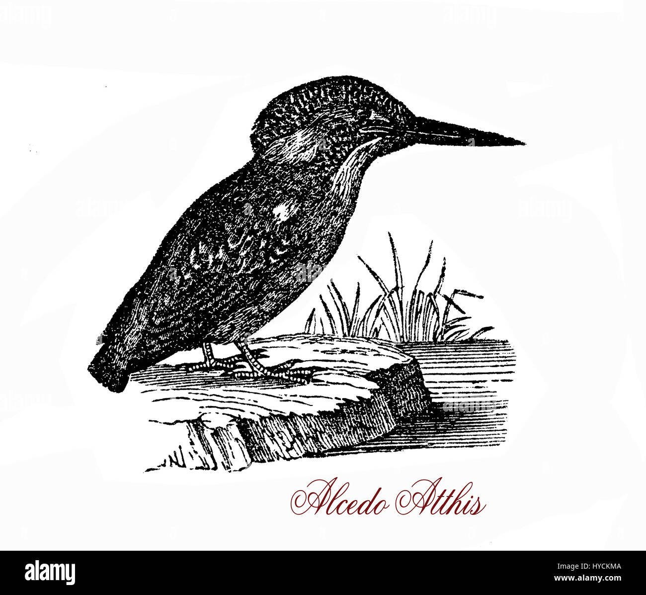 Wildlife vintage engraving of Common kingfisher, small fish-eating bird of vivid blue and orange colors and long - Stock Image