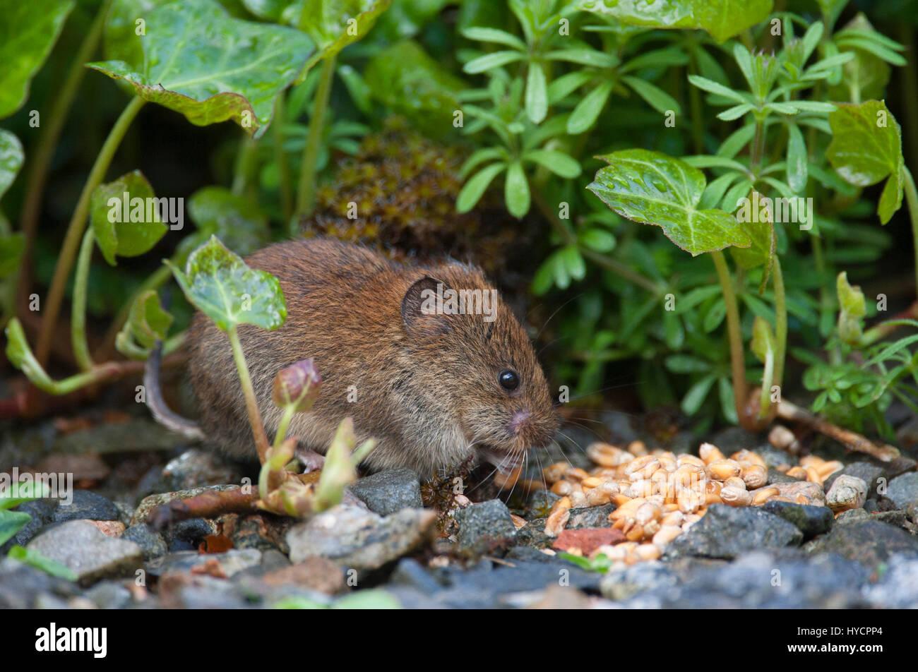 Bank Vole, Clethrionomys glareolus Single adult feeding on seeds. Aviemore, Scotland, UK - Stock Image
