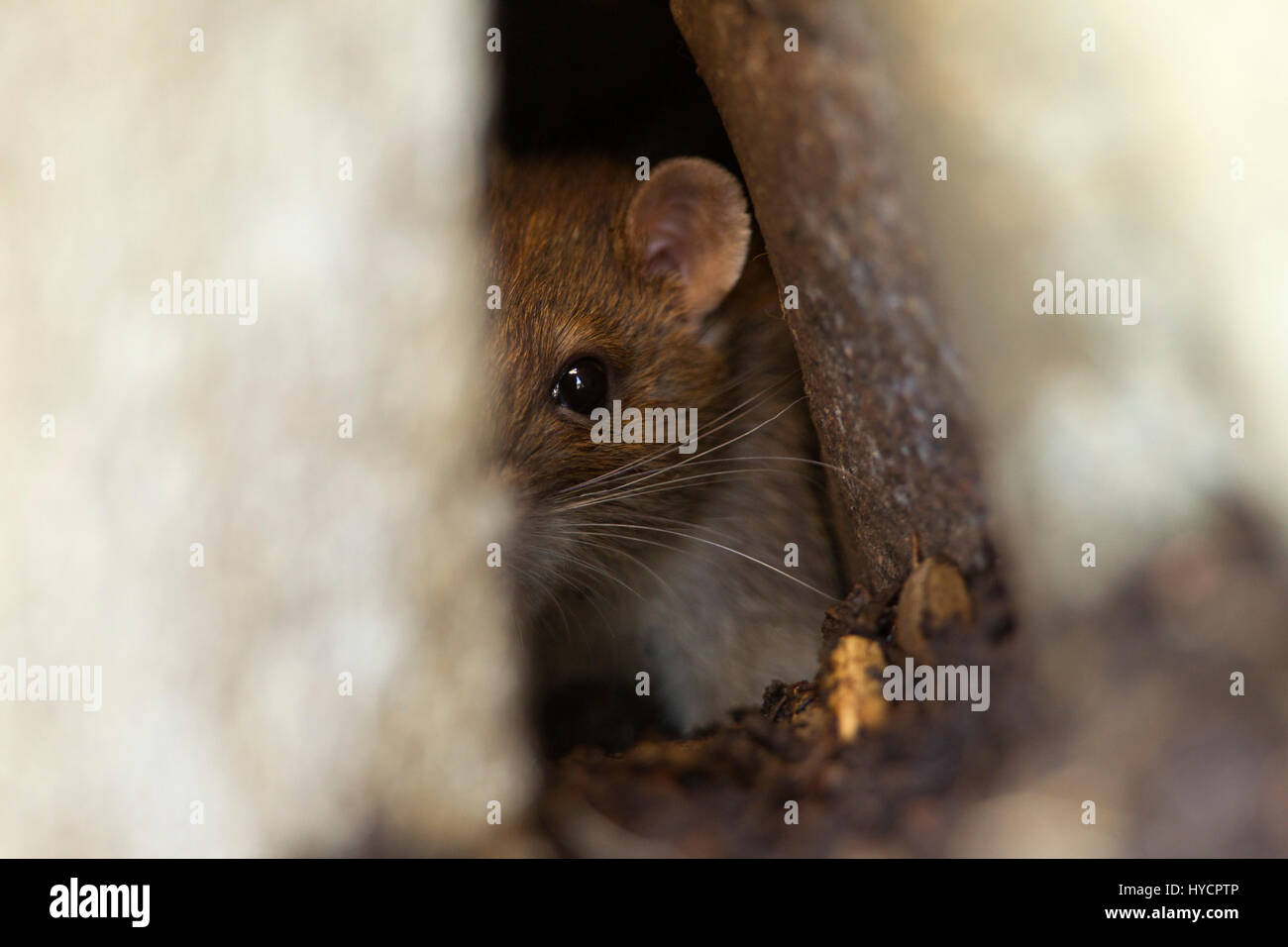 Brown Rat, Rattus norvegicus, single adult peering out of compost bin.  Worcestershire, UK. - Stock Image
