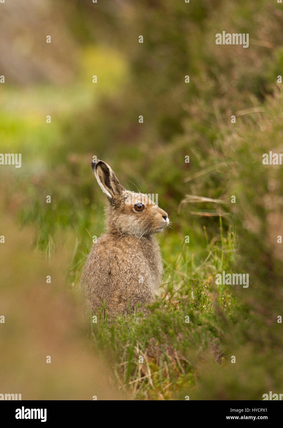 Mountain Hare, Lepus timidus, single adult in summer coat sitting upright on moorland. Taken June. The Highlands, - Stock Image