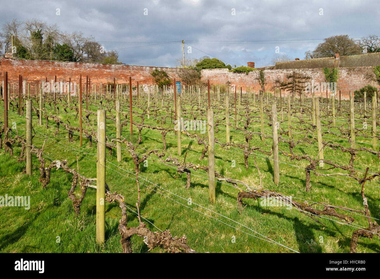 The walled kitchen garden at Croft Castle, Herefordshire, UK. Grape vines in the working vineyard, which produces - Stock Image
