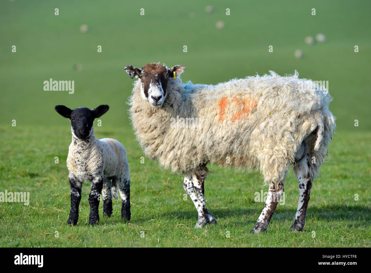 Ewe with lamb on the South Downs, Sussex, UK - Stock Image
