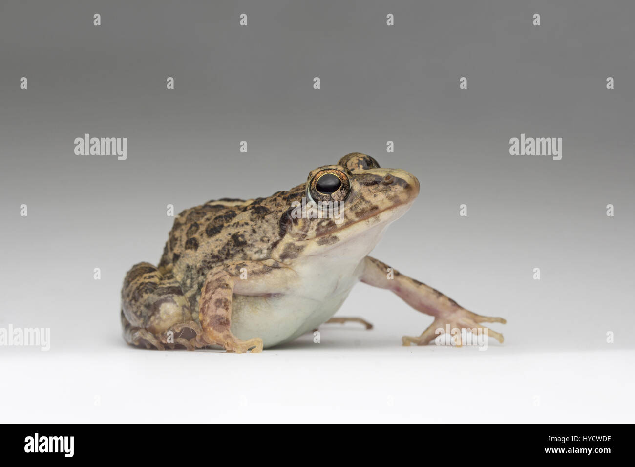 Common Grass Frog - Stock Image