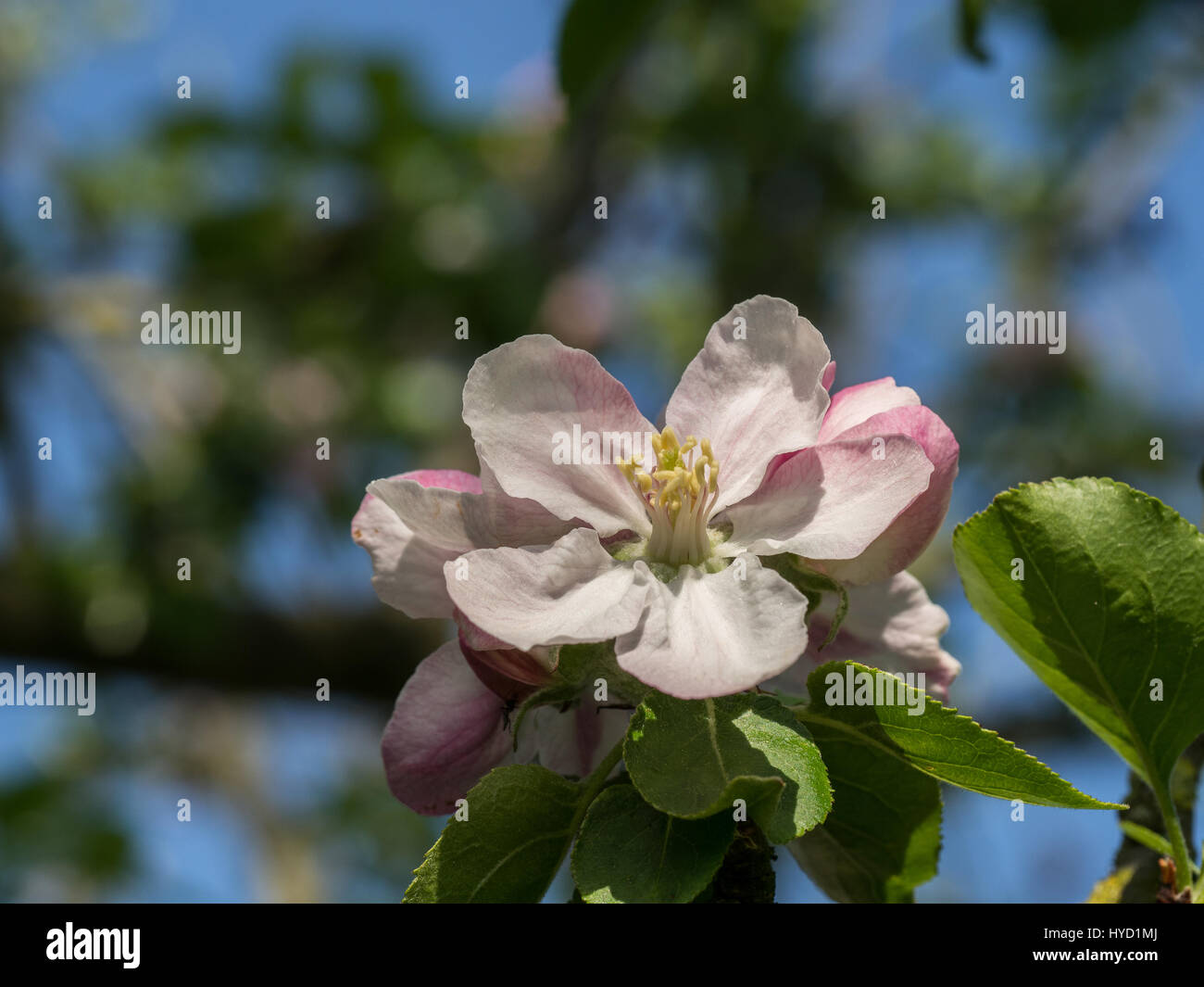 Close up of a bramley apple flower - Stock Image