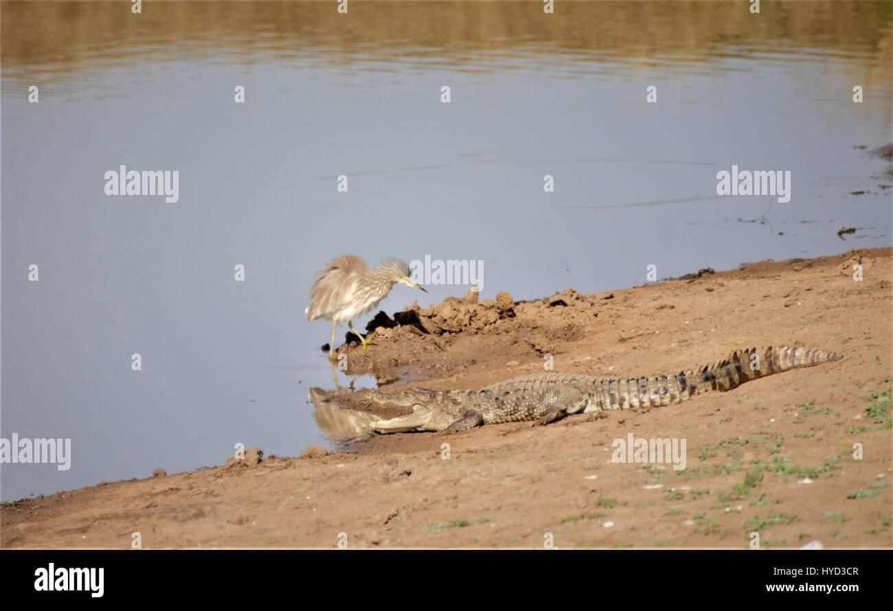 Mugger Crocodile - Stock Image