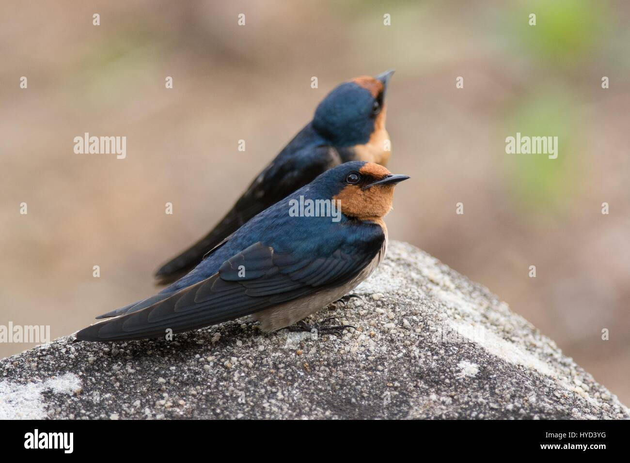 Two adult Pacific swallows - Hirundo tahitica - perched on rock together and looking up into the sky - Stock Image