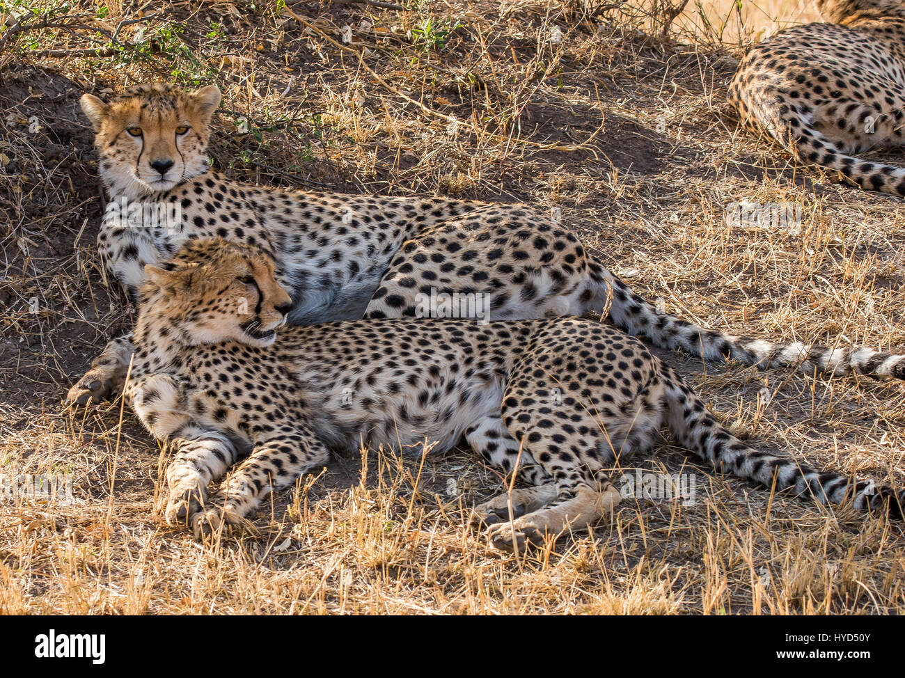 Cheetah in Kenya - Stock Image