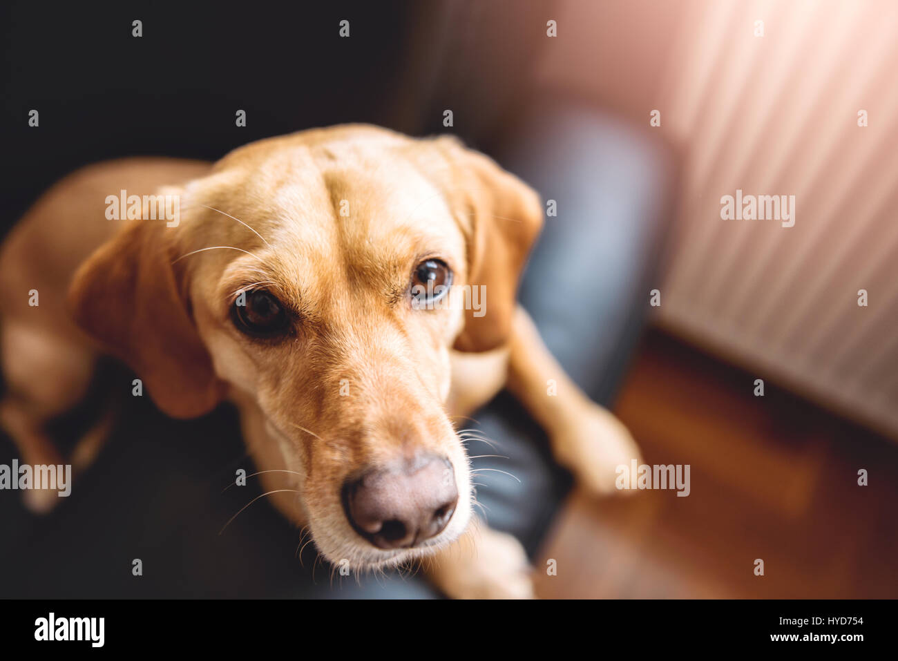 Small yellow dog sitting on black sofa - Stock Image