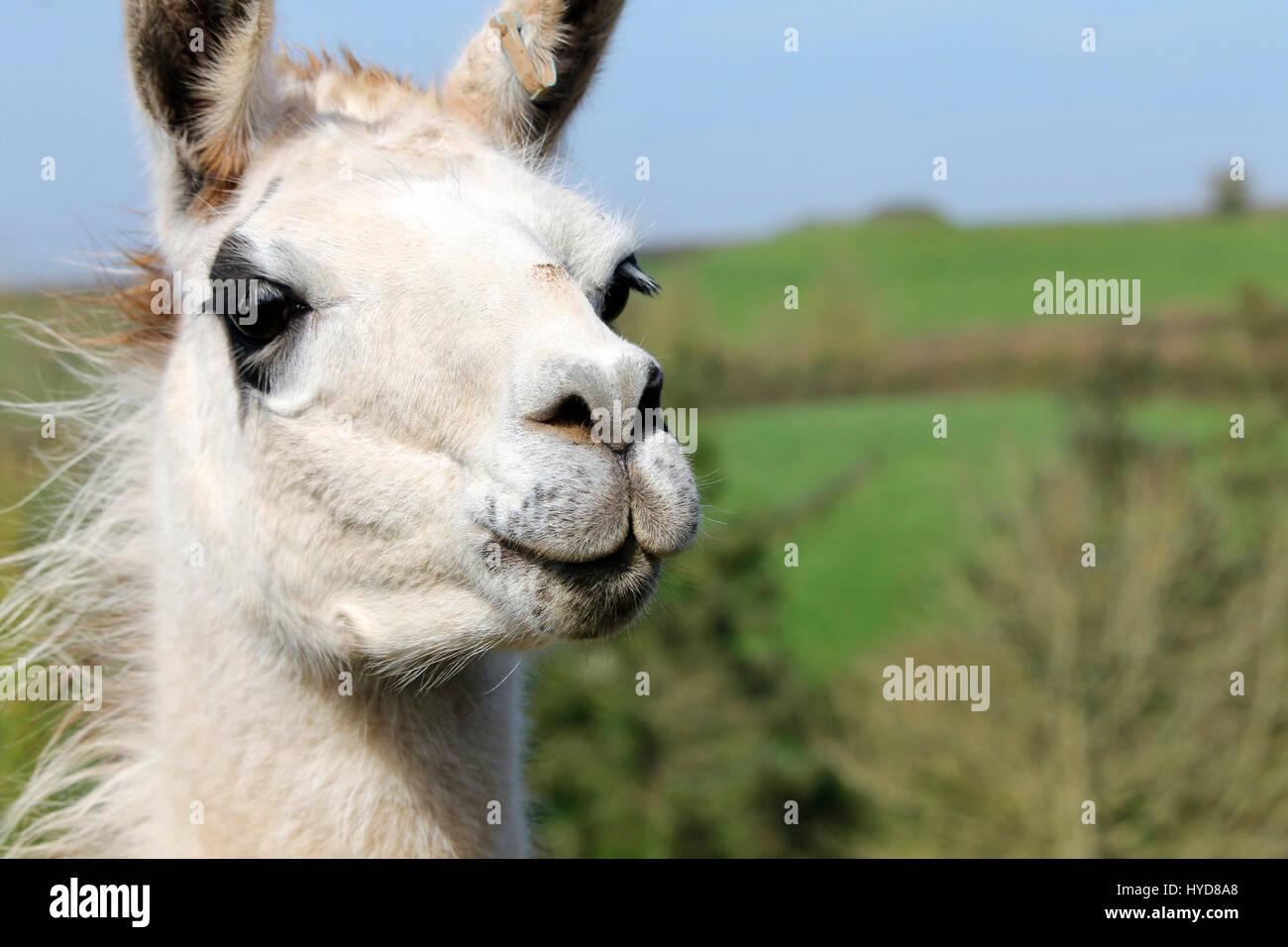 Lama, llama - Stock Image