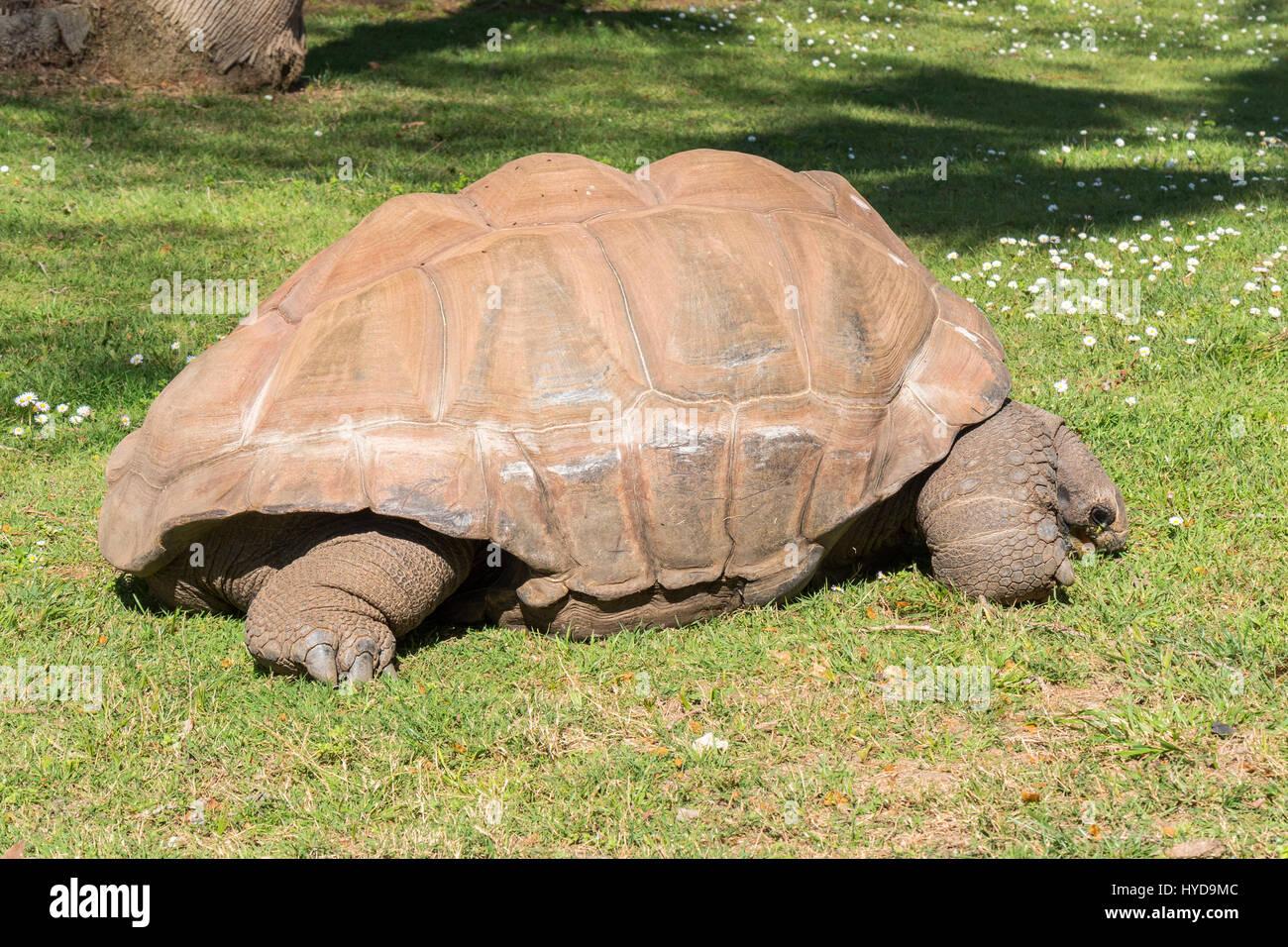 Giant turtle eating grass, Tortoise Aldabra giant - Stock Image