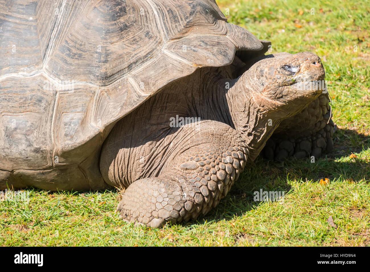 Giant tortoise basking in the sun, Tortoise Aldabra giant - Stock Image