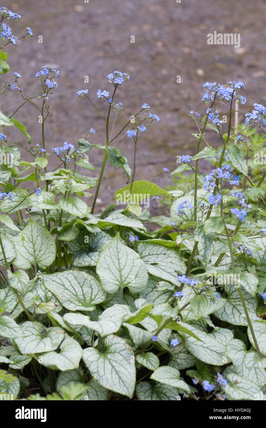 Silvered Foliage And Blue Spring Flowers Of The Hardy Perennial