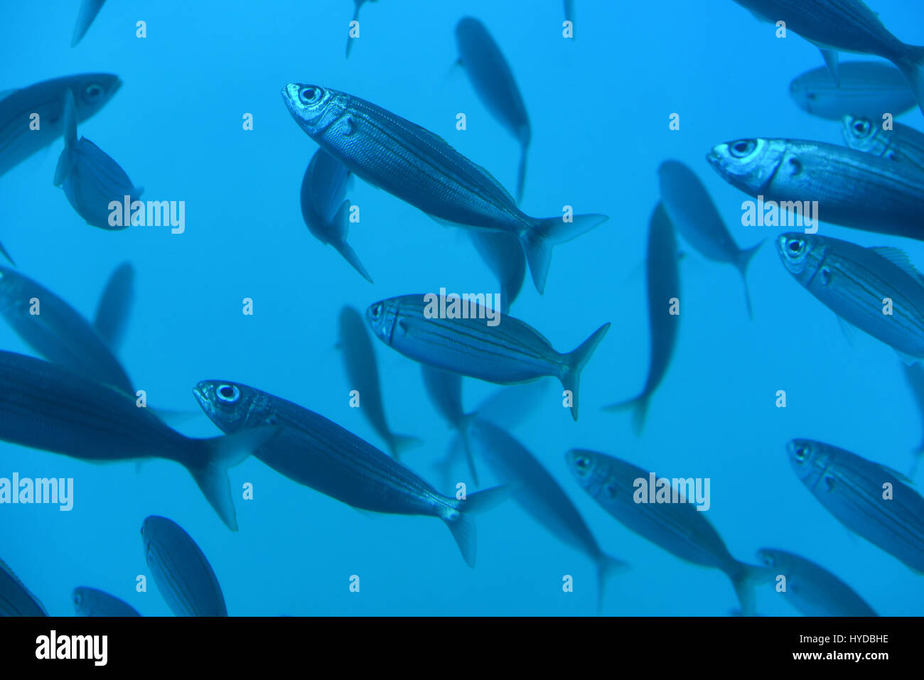 Group of fishes diving under water - Stock Image
