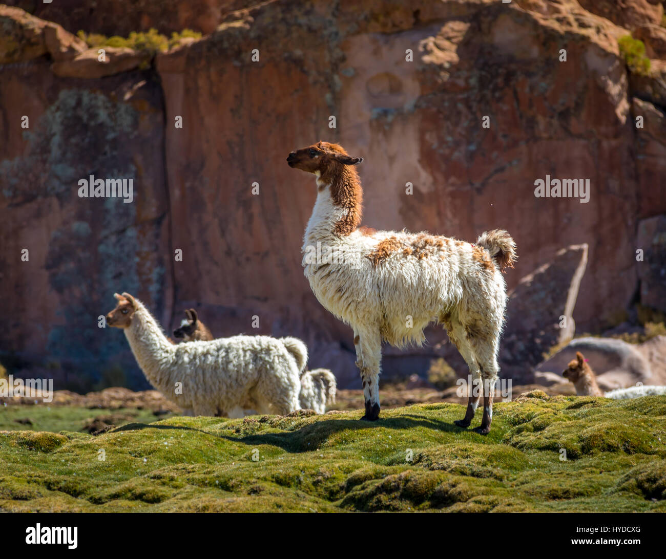 Imposing standing llama on a field - Bolivia - Stock Image