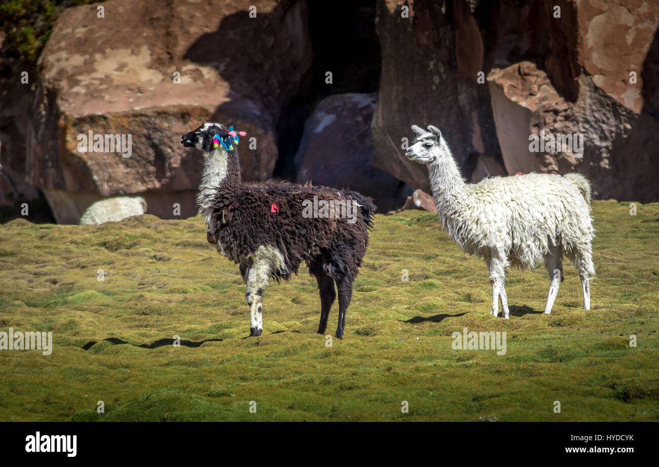 White and Black and white adorned Llama - Bolivia - Stock Image