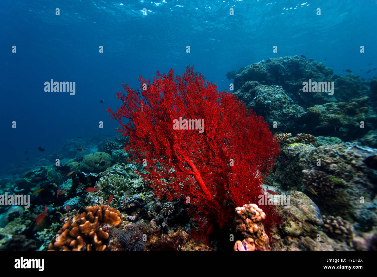 Red coral on Sipadan coral reef - Stock Image