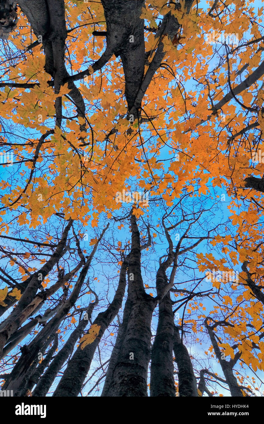 A classic view from below of a bush of maple trees protunding in the blue sky. Taken an evening of mid October in - Stock Image