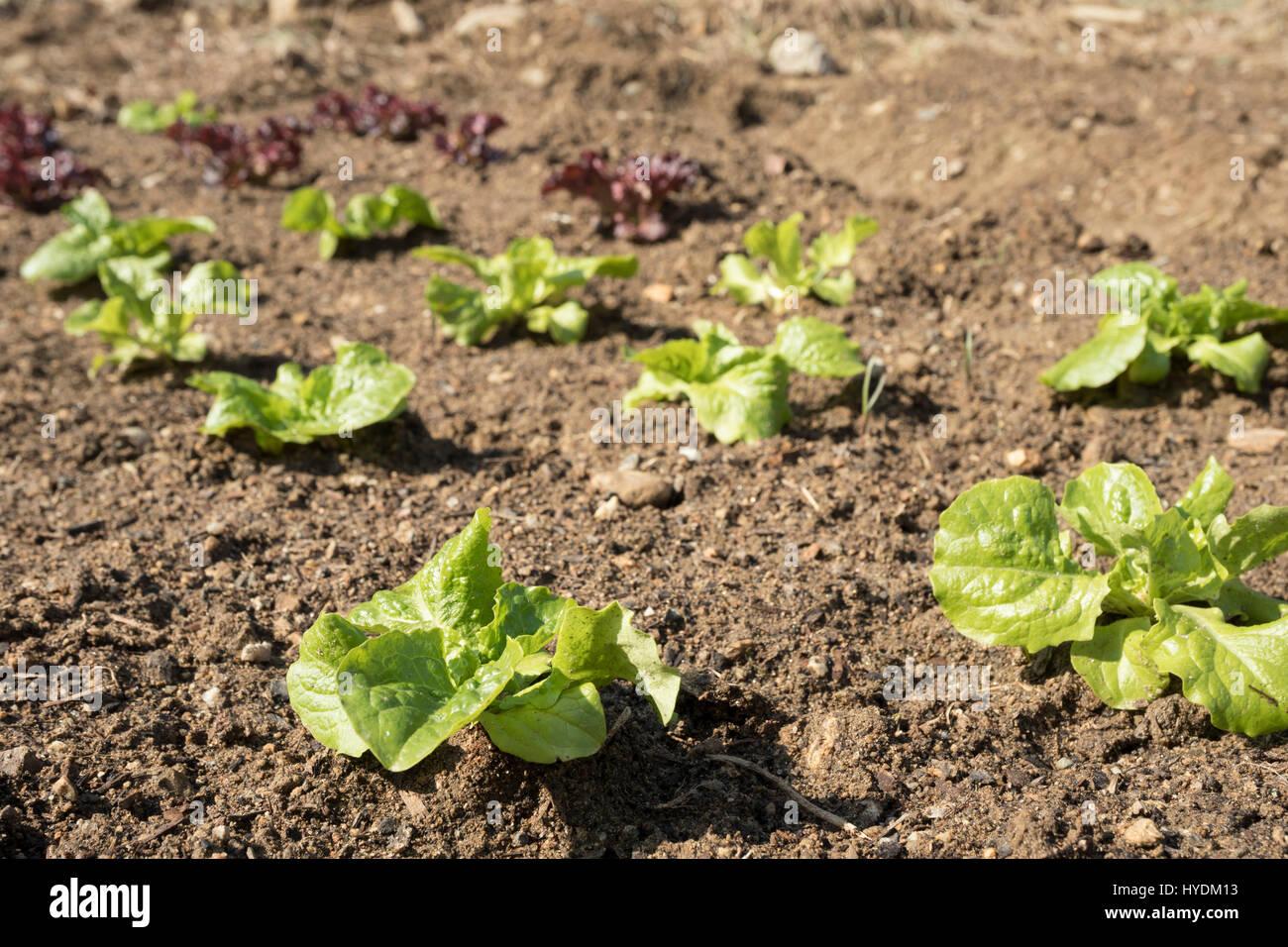 a vegetable garden near my house Stock Photo: 137369375 - Alamy
