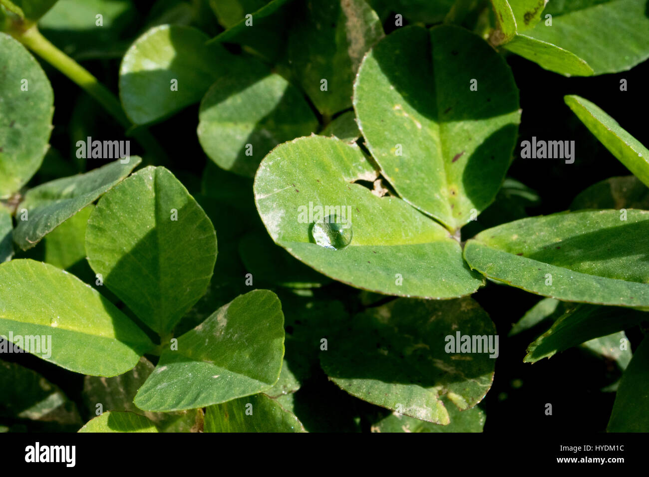 clovers on the garden. there is waterdrop on the leaf. - Stock Image