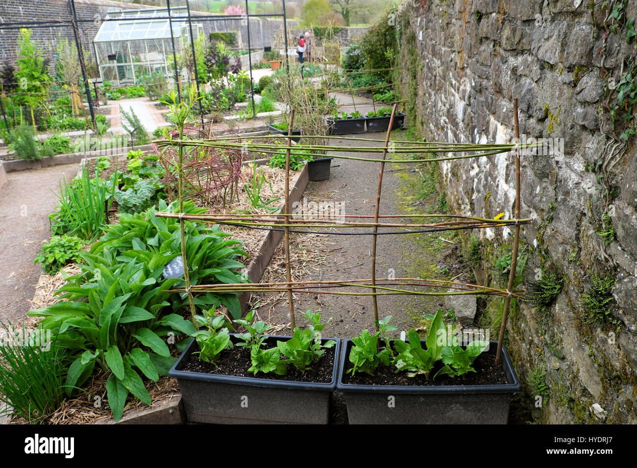 Comfrey plants in raised beds, straw mulch & willow branch structure frame support at the National Botanic Garden - Stock Image