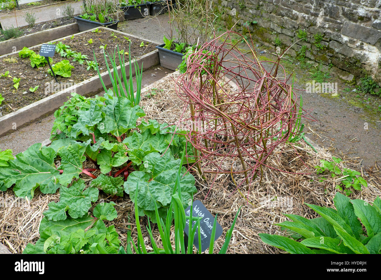 Rhubarb and woven dogwood stem structure in framed garden bed with straw mulch in spring at the National Botanic - Stock Image