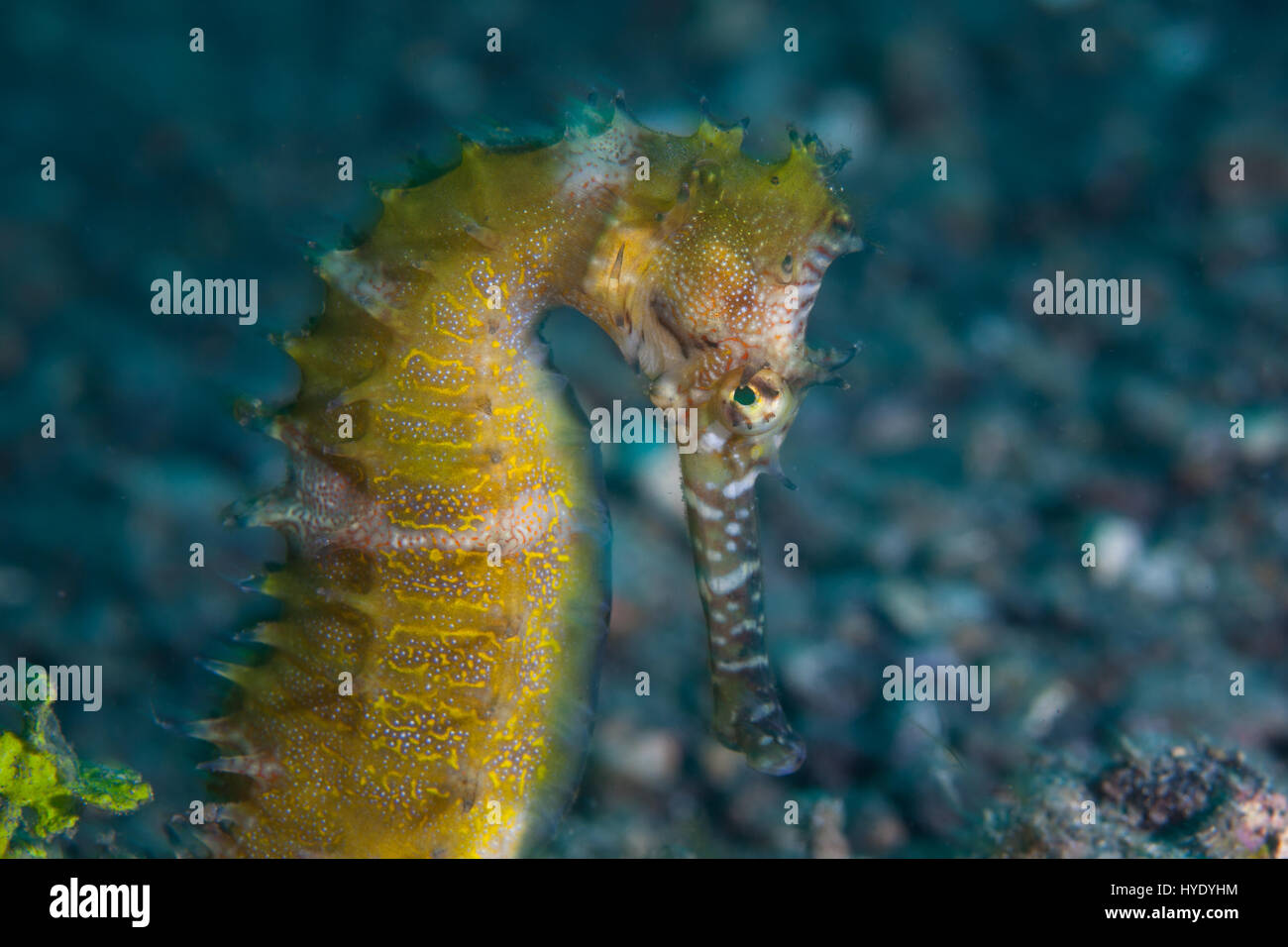 A well-camouflaged Thorny seahorse is found on a sandy slope in Lembeh Strait, Indonesia. - Stock Image