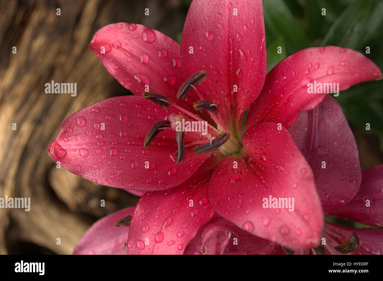 Fire Pink Flower Stock Photos Fire Pink Flower Stock Images Page