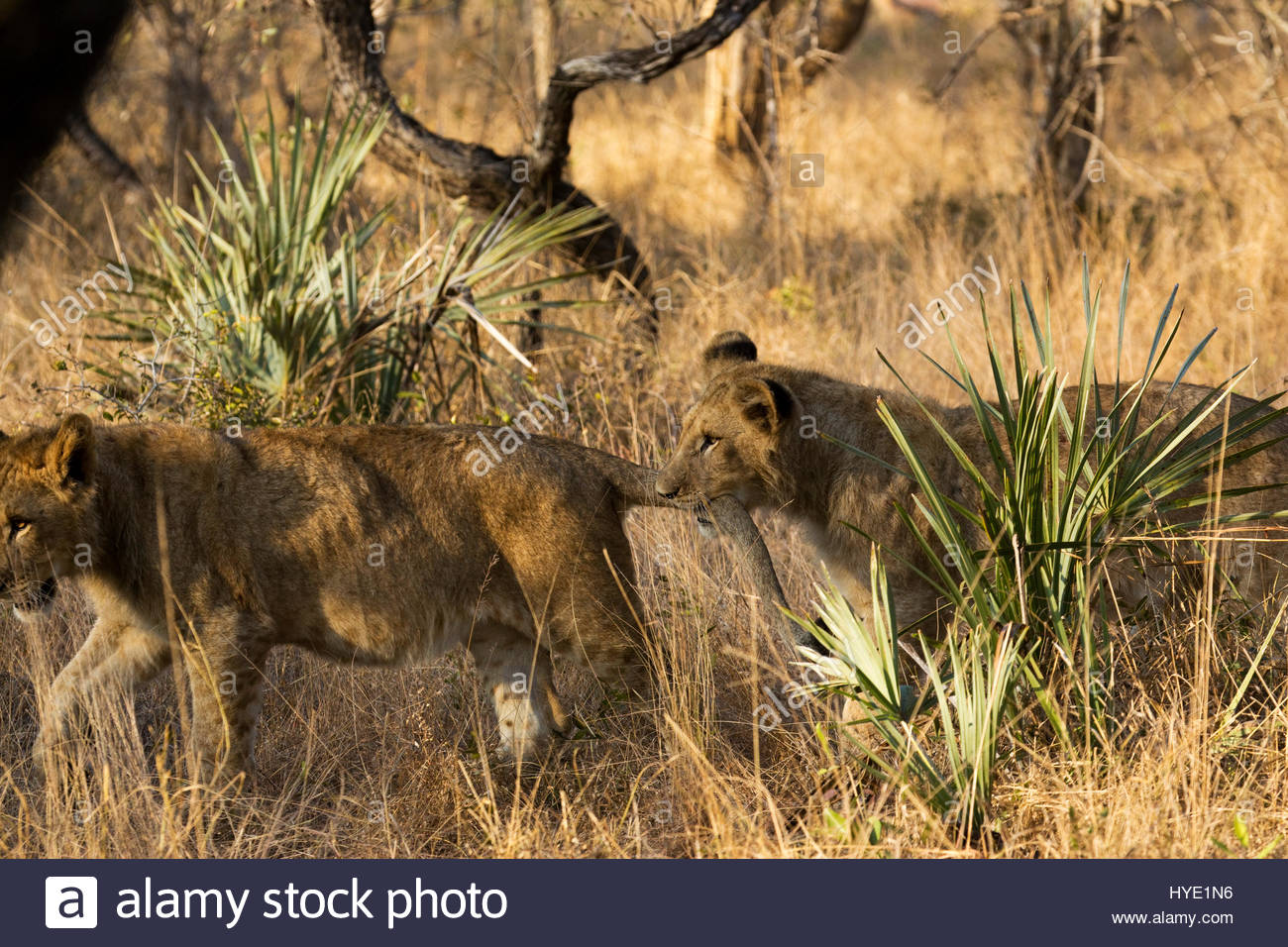 A lion cub playfully bites the tail of another cub. - Stock Image