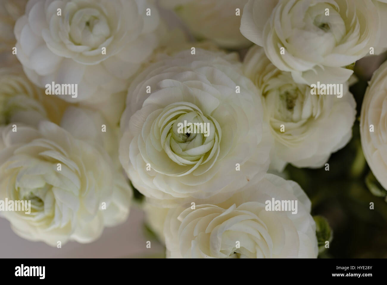 Close Up Of Bouquet Of White Ranunculus Flower Stock Photo
